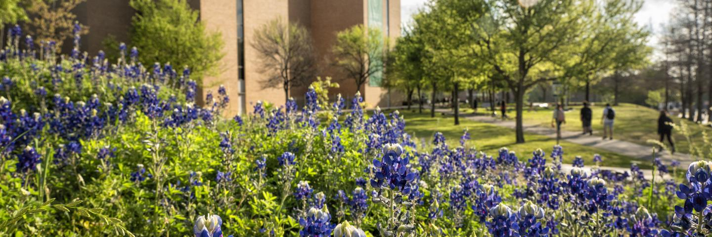 Bluebonnets on the UNT campus